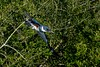 Kingfisher takeoff.