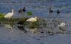 A nice group of wading birds on Shoveler.