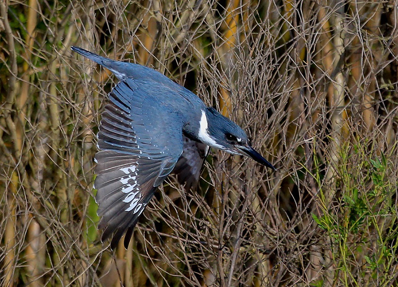 zAnahuac 12-19-16 283C reduced crop diving Belted Kingfisher-