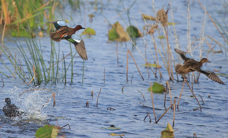 A male and female Cinnamon Teal spook a Coot and approach a landing area.