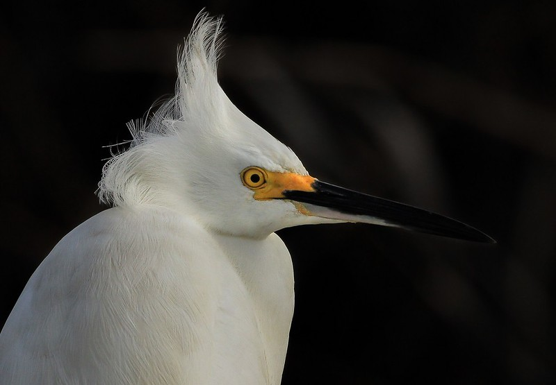 Snowy Egret fighting the morning wind.