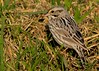 Calm and cooperative Savannah Sparrow in harsh mid morning sun. Bank of Shoveler Pond.