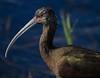 aaAnahuac 12-9-16 403A Sumkinda Ibis