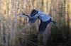 aaAnahuac 12-9-16 008B, GB Heron flyby, early AM