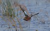 Cinnamon Teal in flight. The next 3 images show parts of this flight and the landing approach. A female Cinnamon Teal was flying with the drake but I did not realize it at first.
