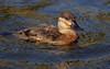 Ruddy Duck male.