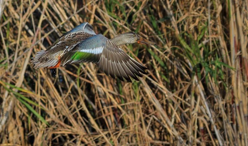 zzAnahuac 12-19-16 200A, flying female Shoveler, small
