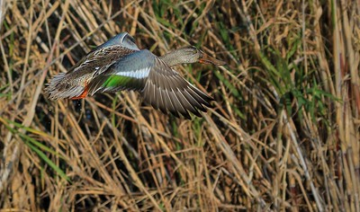 zzAnahuac 12-19-16 200A, flying female Shoveler, small