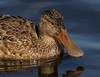 This Shoveler female came right up to our bank. Wish a male would be so bold.