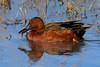 Cinnamon Teal Duck