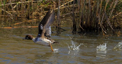 Common Goldeneye takeoff