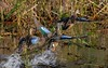 Blue-winged Teal are lightweight, bouyant, and bolt out of the water rapidly.