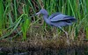 Little Blue Heron fishing.