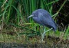 Little Blue Heron.
