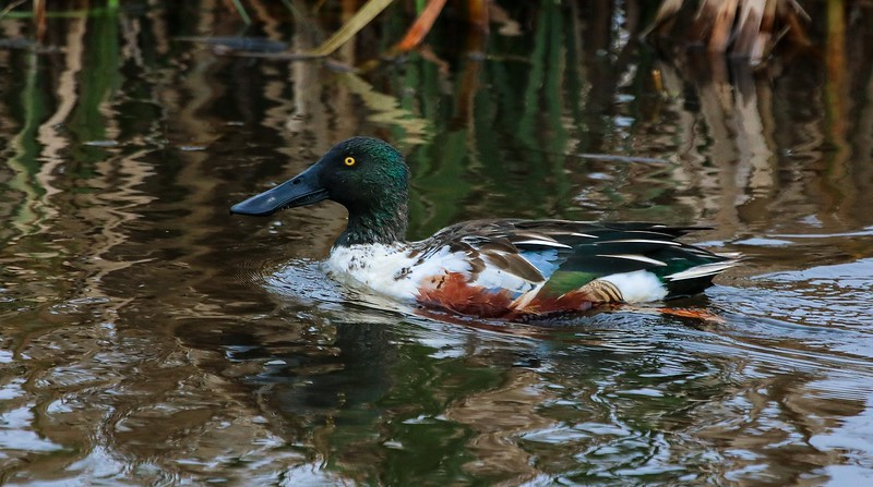 Normally the blue and green wing panels of a Shoveler are hidden under the wing when at rest. Perhaps some feathers are missing.