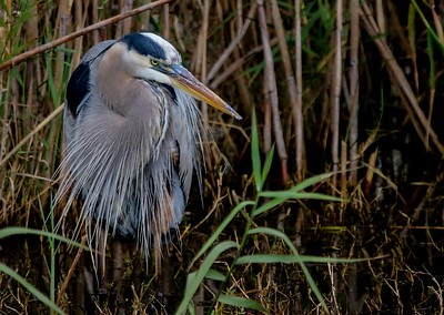 Earlier this Great Blue Heron had stayed motionless for so long we gave up waiting for a different viewing angle and drove off.