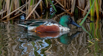 An adult male Shoveler cruises in front of a colorful background.