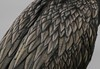 Study in detail of a Cormorant's back.