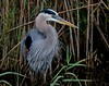 One of the finest colored Great Blue Herons Dave B. and I have ever seen.