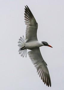 Common Tern fishing over Shoveler Pond.