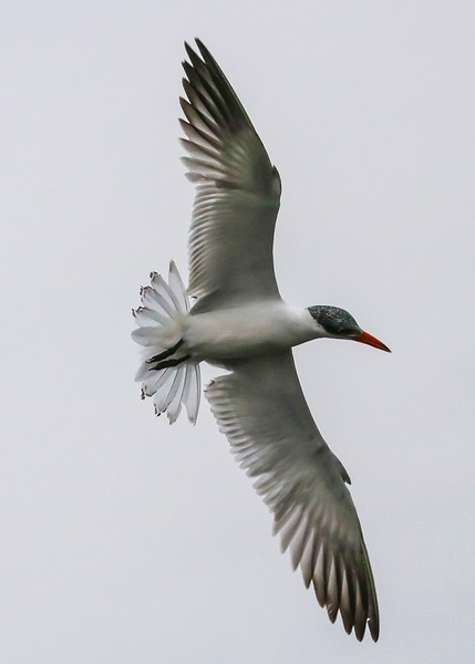 Common Tern fishing over Shoveler Pond.
