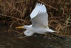 Great Egret in its graceful, lazy flight .