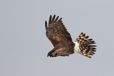 A Northern Harrier searching low over the Shoveler Pond marshes for lunch candidates.