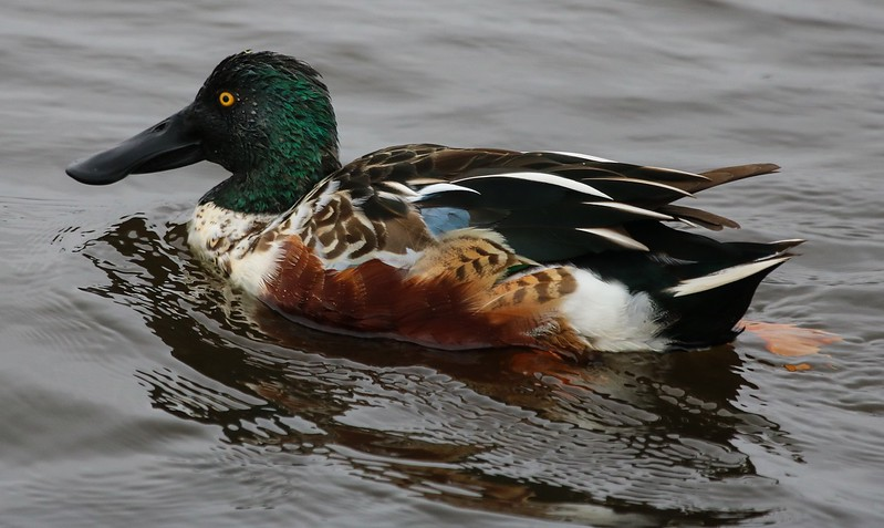 Close male Shoveler.