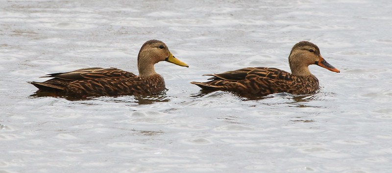 A pair of Mottled Ducks. The female has the orange bill and the male is yellow. You will usually see them in  pairs.