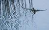 A Shoveler flies away toward a line of reeds.
