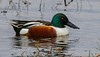 An adult male Shoveler in full mating Plumage. Few birds change for mating more radically than male Shovelers.