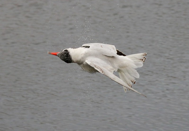 Not sure what this Tern was doing, but it's flying up side down..