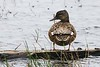 Female Gadwall on an artificial drydock