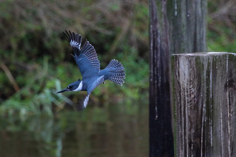 Kingfisher drops down to gain speed when changing locations.