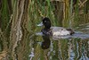 Nice reflections surround a Lesser Scaup.