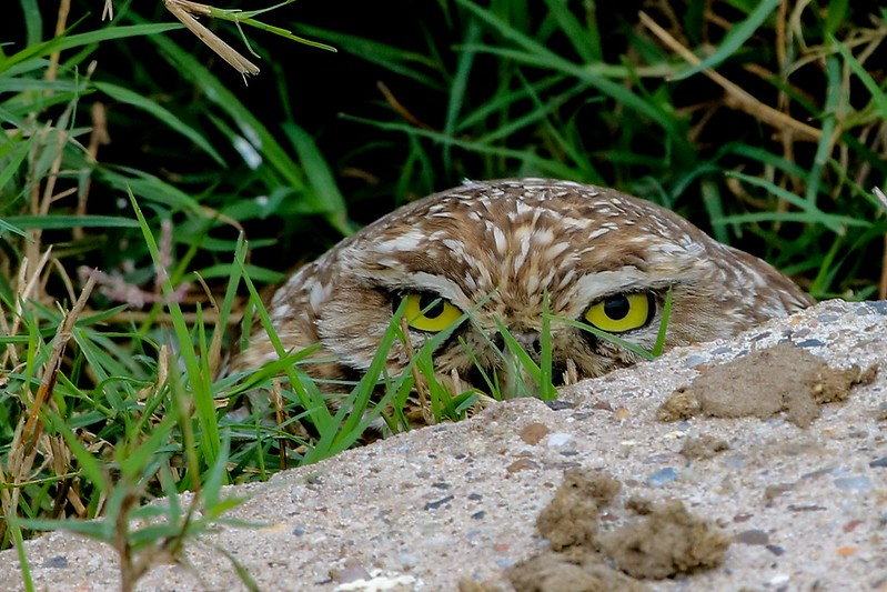 Burrowing Owl putting up with a parade of on-lookers. Burrow is only about 25 feet from a roadside fence.