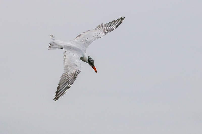 The start of an aborted dive by a Common Tern. The fish won this one.