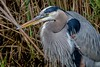 A regal adult Great Blue Heron in mating plumage. We spent a lot of time enjoying this one.