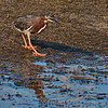 Green Heron scoping out the fish schooling in the ditch in front of him.