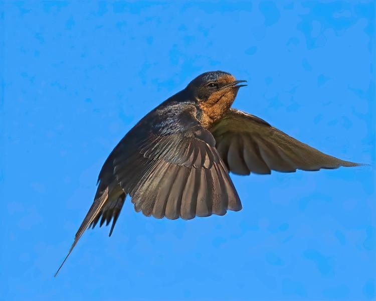 Barn Swallow in flight.