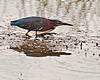 Green Heron fishing under temporary cloudy conditions.