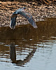 Green Heron in flight along the auto-trail.