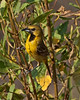 Orchard Oriole, female.  Have seen pair the past two weeks.