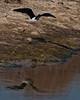 Black-necked Stilt in flight.