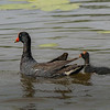 Moorhen or Common Gallinule, female and chick.