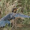 Neotropical Cormorant in flight.
