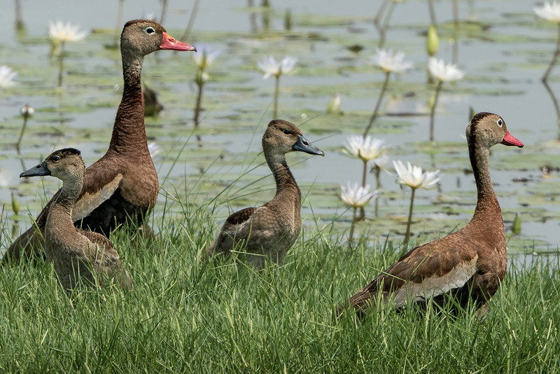 Black-bellied Whistling Ducks with chicks.
