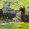 Moor Hen chicks or Common Gallinule chicks.