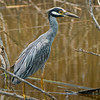 Yellow-crown Night Heron.