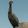 Neotropical Cormorant.